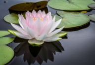 A lotus in th